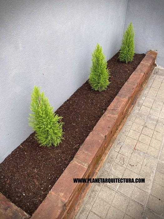 Dwarf pines in pots